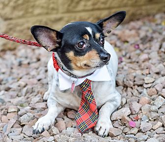 Rat Terrier Mix Dog for adoption in Gilbert, Arizona - Sancho