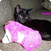 Adopt A Pet :: Bambi-DECLAWED kitten - Taylor Mill, KY