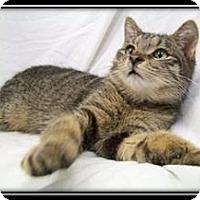 Adopt A Pet :: Jasper -(& Timber) Kitten - Arlington, VA