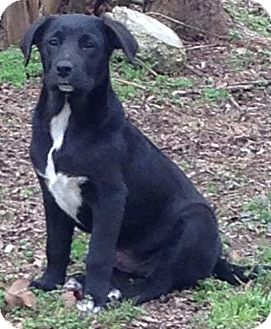 Labrador Retriever Mix Puppy for adoption in Hagerstown, Maryland - Fallon