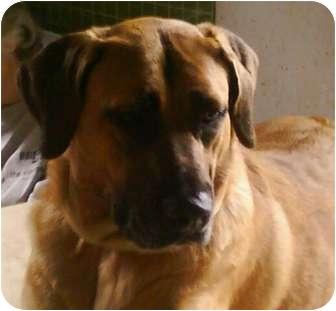Crickett   Adopted Dog   Louisville, KY   Rhodesian ...