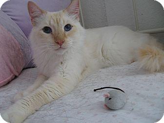 Siamese Cat for adoption in Brea, California - Fabio