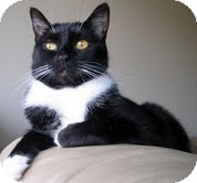 Domestic Mediumhair Cat for adoption in Alexandria, Virginia - Peeps