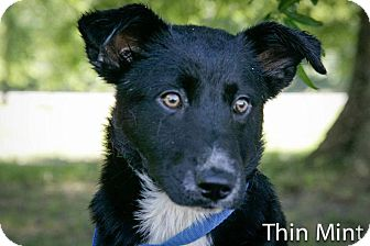 Shepherd (Unknown Type) Mix Dog for adoption in Jackson, Mississippi - Thin Mint