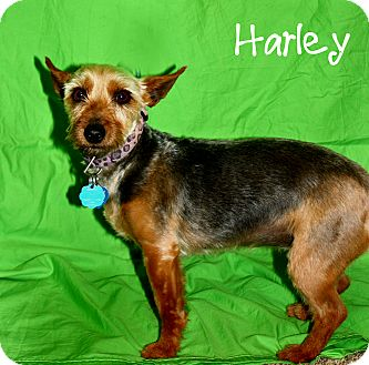 Yorkie, Yorkshire Terrier/Terrier (Unknown Type, Small) Mix Dog for adoption in Ogden, Utah - Harley