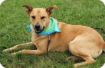 Labrador Retriever/Cattle Dog Mix Dog for adoption in Princeton, Kentucky - Miller