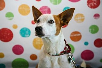 Cattle Dog/Boxer Mix Dog for adoption in Elizabethtown, Pennsylvania - Millie