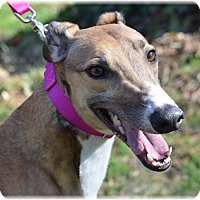 Adopt A Pet :: Ace - Harrisburg, PA