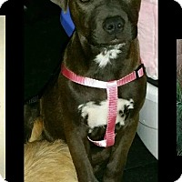 Adopt A Pet :: Maggie - Surprise, AZ