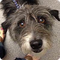 Adopt A Pet :: Scooter - Washington, PA