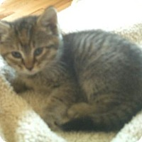 Domestic Shorthair Kitten for adoption in Harrisonburg, Virginia - Sidney