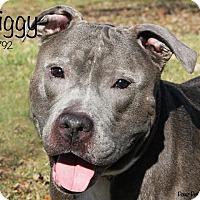 Adopt A Pet :: Ziggy - Troy, MI