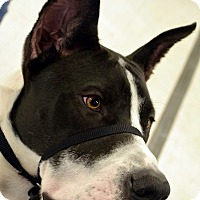 Adopt A Pet :: Bentley-Adoption pending - Bridgeton, MO