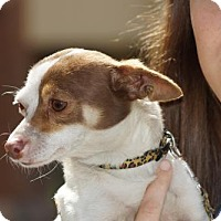 Chihuahua/Rat Terrier Mix Dog for adoption in Martinez, Georgia - Charlotte