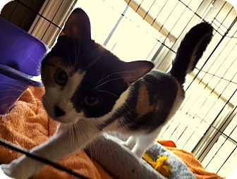 Calico Kitten for adoption in Berkeley Hts, New Jersey - Riley