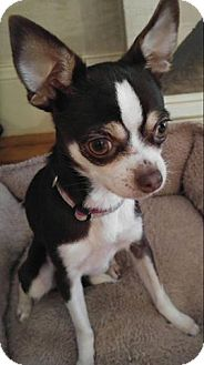 Chihuahua Dog for adoption in Matthews, North Carolina - Mini