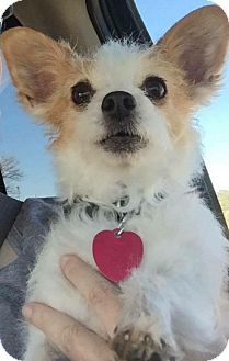 Pomeranian/Chihuahua Mix Dog for adoption in Edmond, Oklahoma - Spalding