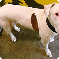 Adopt A Pet :: Major - Redding, CA