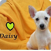Adopt A Pet :: Daisy - Bartonsville, PA