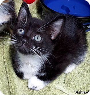 Domestic Shorthair Kitten for adoption in Key Largo, Florida - Ashley