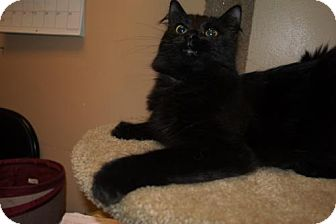 Domestic Longhair Cat for adoption in Capshaw, Alabama - Raven