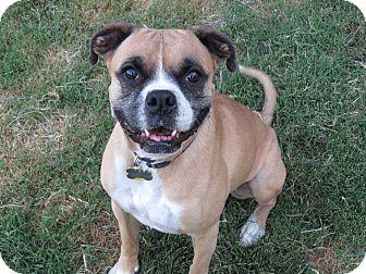 Boxer Dog for adoption in Scottsdale, Arizona - Ike