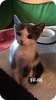 American Shorthair Kitten for adoption in Great Neck, New York - Ernie