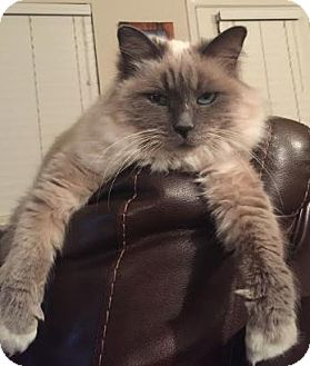Birman Cat for adoption in Austin, Texas - Adora the Adorable