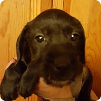 Labrador Retriever/Boston Terrier Mix Puppy for adoption in Medora, Indiana - Roni