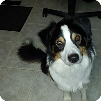 Australian Shepherd Dog for adoption in St. Louis, Missouri - Knuckles