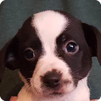 Adopt A Pet :: Vladimir - Colonial Heights, VA