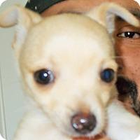 Adopt A Pet :: Tiny Tim - Plain City, OH