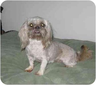 Shih Tzu Dog for adoption in Chandler, Indiana - Missy