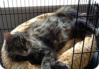 Maine Coon Cat for adoption in Bear, Delaware - Anastasia