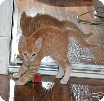 Domestic Shorthair Kitten for adoption in Island Park, New York - Prince