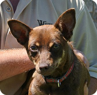Chihuahua Mix Dog for adoption in white settlment, Texas - Roscoe