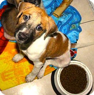 Pointer/Beagle Mix Puppy for adoption in Miami, Florida - Loki