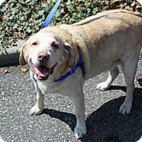 Adopt A Pet :: Buddy the Lab - Shrewsbury, NJ