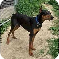 Adopt A Pet :: Hank adoption pending - New Richmond, OH