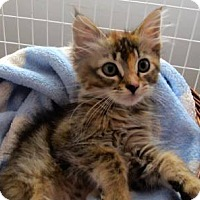 Adopt A Pet :: Zillie - Davis, CA