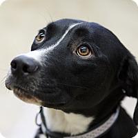 Adopt A Pet :: Franka - Ile-Perrot, QC