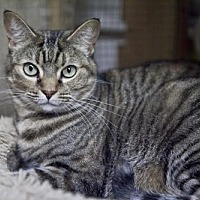 Adopt A Pet :: Kameron - Midway City, CA
