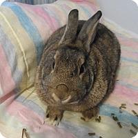Adopt A Pet :: Violet - Hillside, NJ