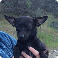 Adopt A Pet :: Speck - Reno, NV