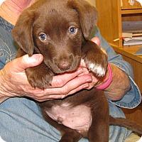 Adopt A Pet :: Rhett - Charlemont, MA