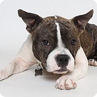 Adopt A Pet :: Brie (Foster) - Baton Rouge, LA