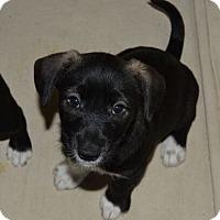 Adopt A Pet :: Joey - Memphis, TN