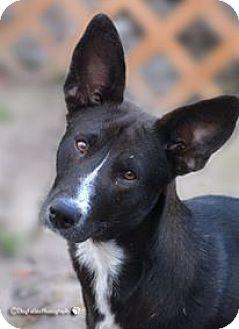 Border Collie/Basenji Mix Dog for adoption in BROOKSVILLE, Florida - KENDALL
