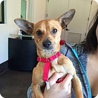 Dachshund/Chihuahua Mix Dog for adoption in San Francisco, California - Archie