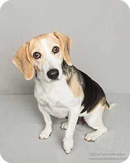 Beagle Mix Dog for adoption in New York, New York - Daisy (Westhampton)